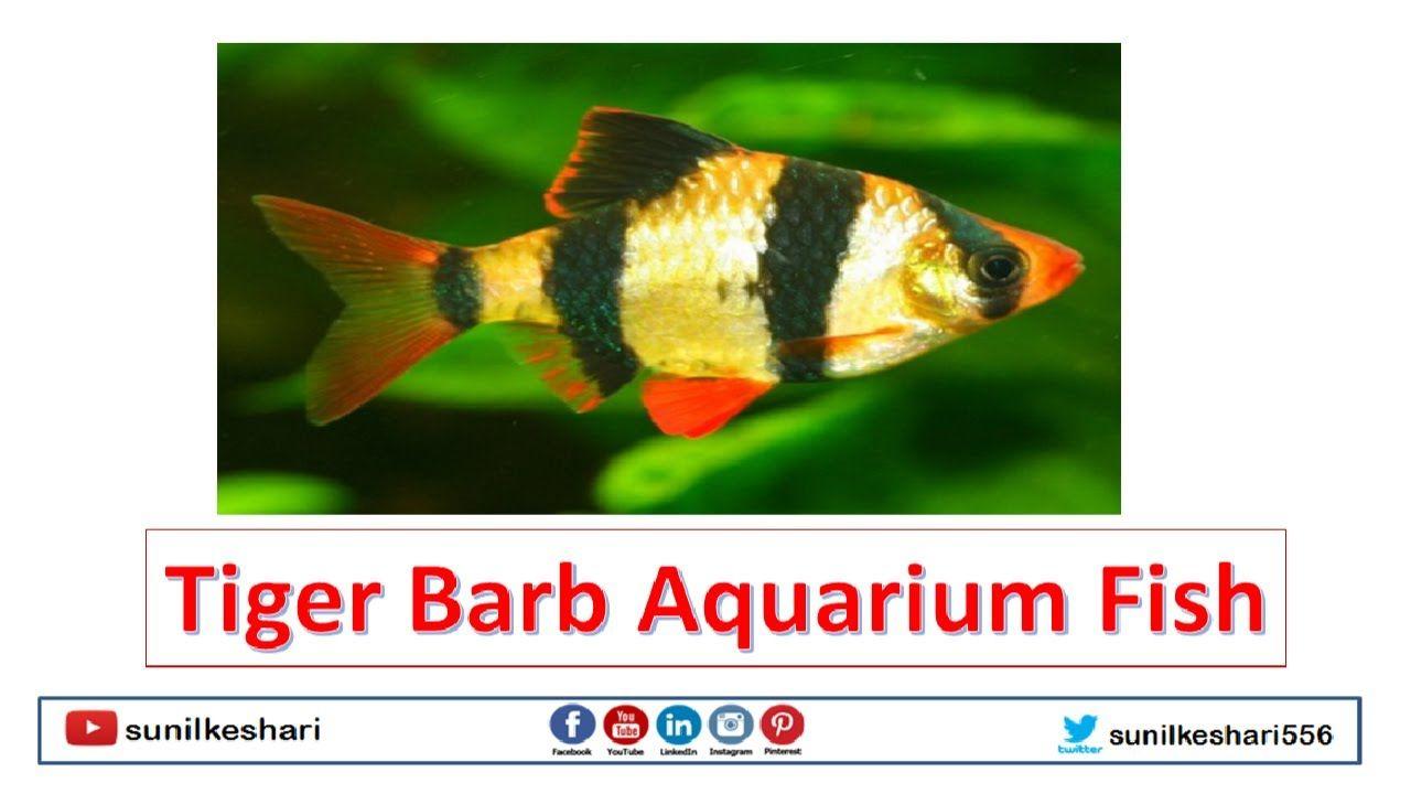 Aquariums Tiger Barb Aquarium Fish In 2020 Aquarium Fish Aquarium Fish Pet
