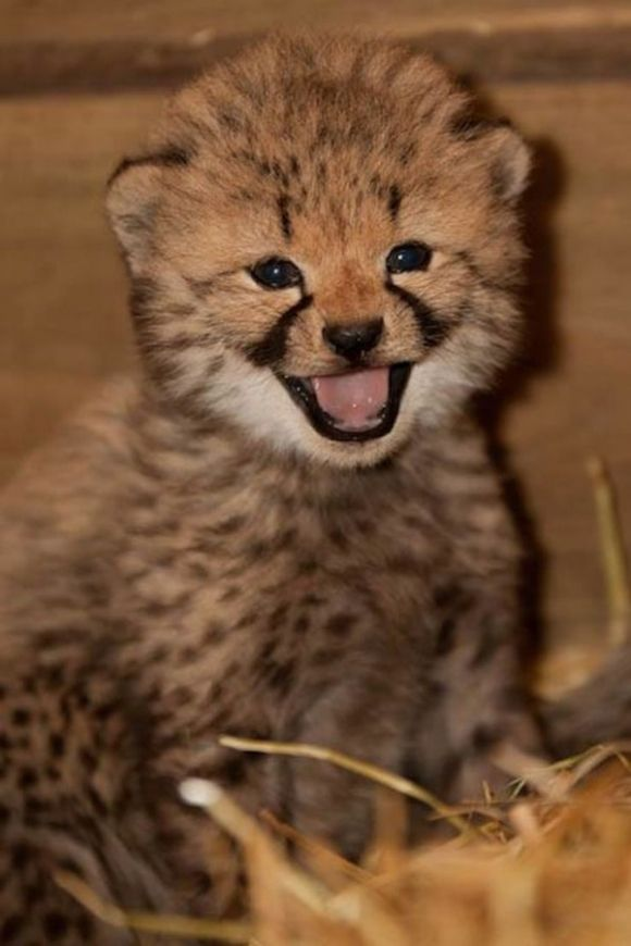 cheeky-Cheetah-happy-cute-funny-animal-pictures-pics.jpg (580×870) | Baby  cheetahs, Baby animals, Baby animals pictures