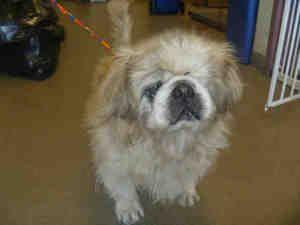 Stuart Is An Adoptable Pekingese Dog In Salt Lake City Ut