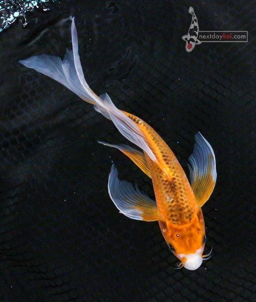 9 5 Hi Asagi Butterfly Fin Live Koi Fish Pond Garden Single Ndk Koi Fish Koi Butterfly Koi