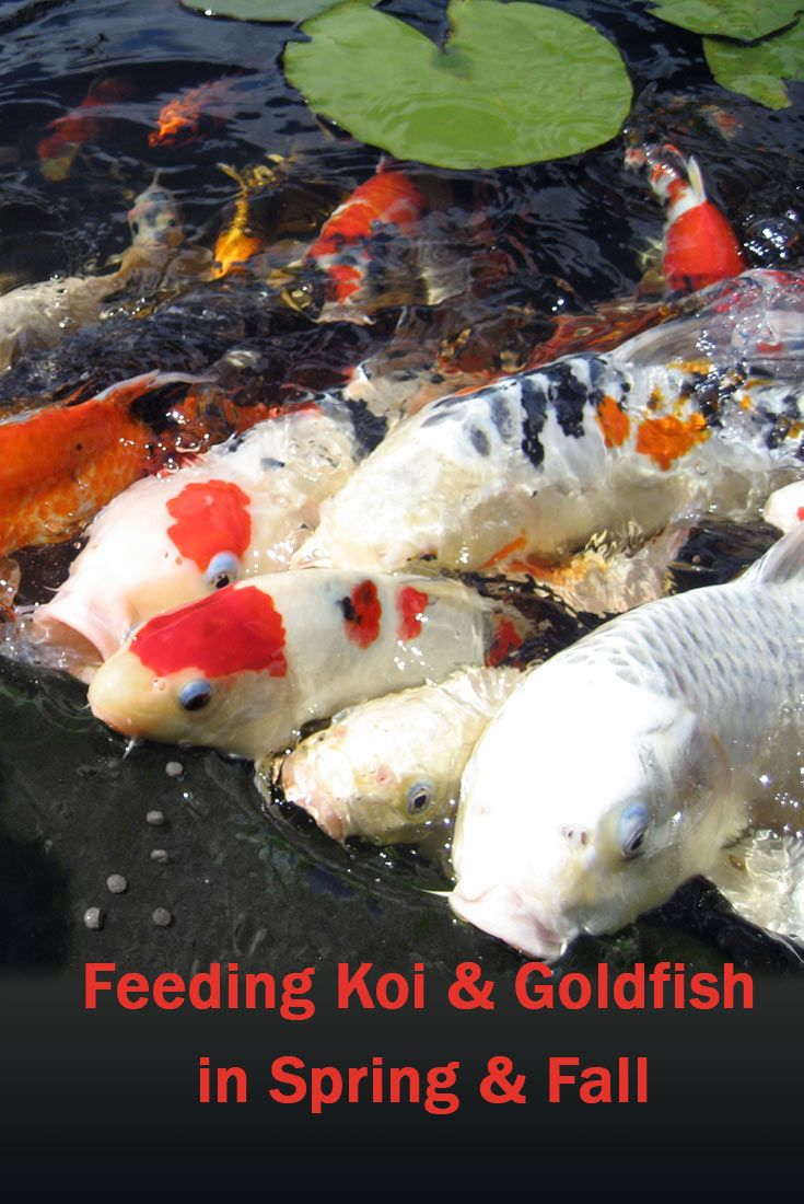 feeding koi at different