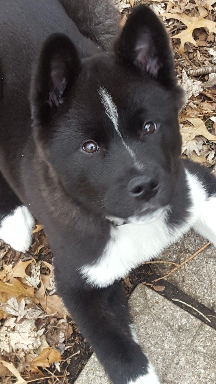 Luna Our American Akita At 13 Weeks Akita Dog Akita Puppies