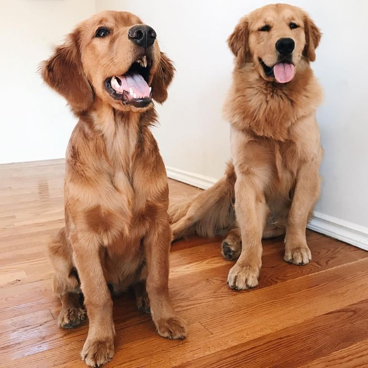 Pin By Cw5 On Cute Animals In 2020 Golden Retriever Dogs Cute