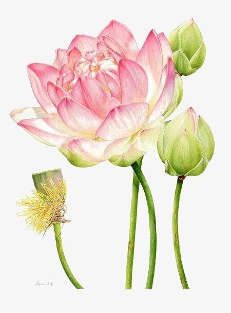 2019 watercolor lotus - Comment dessiner une fleur de lotus ...