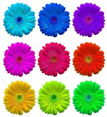 Rainbow Set Of Gerbera Flowers Isolated Over White Flowers Gerbera Rainbow Wedding