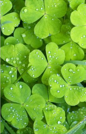 Clover Leaves With Water Droplets In 2019 Green Leaves