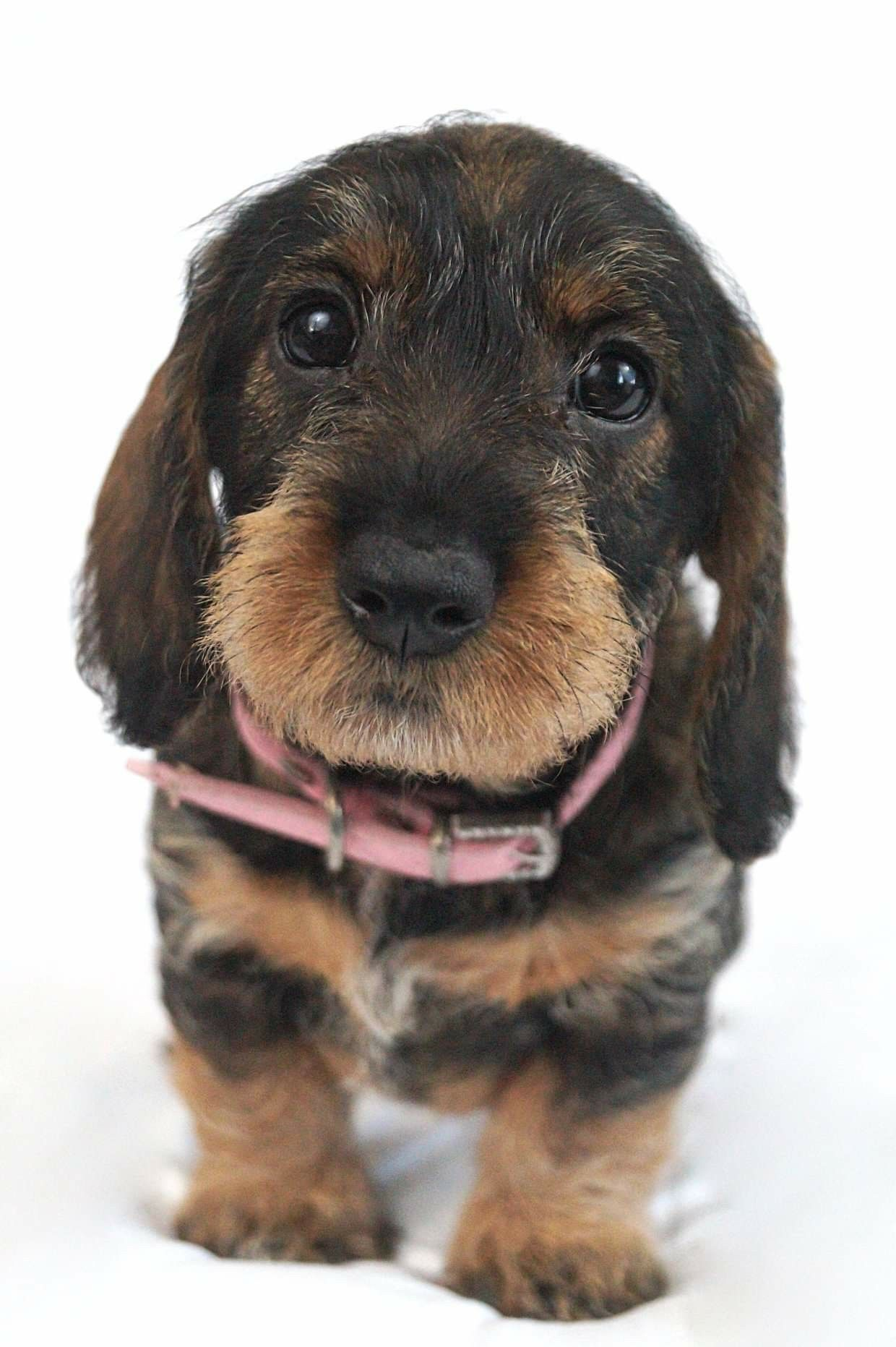 Pin By Mobuttons On Puppies In 2020 Wire Haired Dachshund Puppies Dachshund Dog