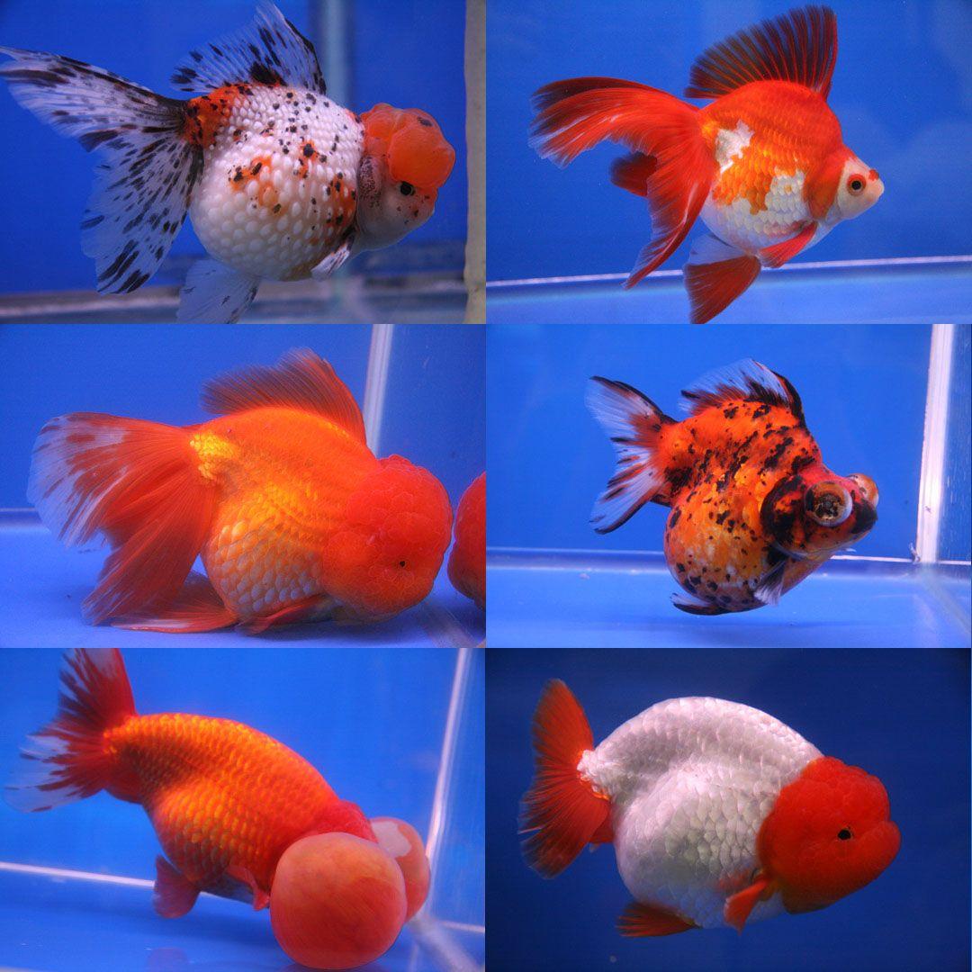 Ranchu With Pom Poms Google Search Goldfish Breeding Goldfish
