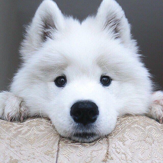 Fantastic Samoyed Chubby Adorable Dog - 0f28aa4e839964024671070ed47830b6  Image_386073  .jpg