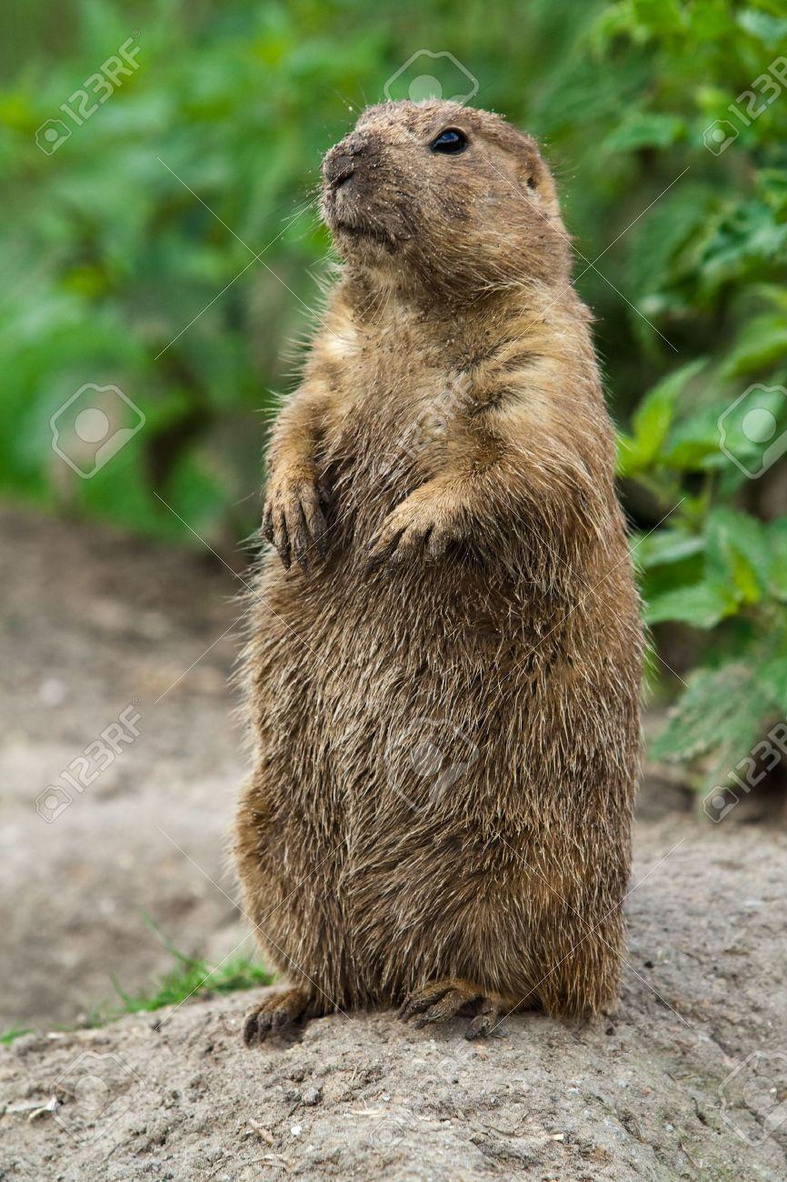 Black Tailed Prairie Dog Adaptations Grasslands