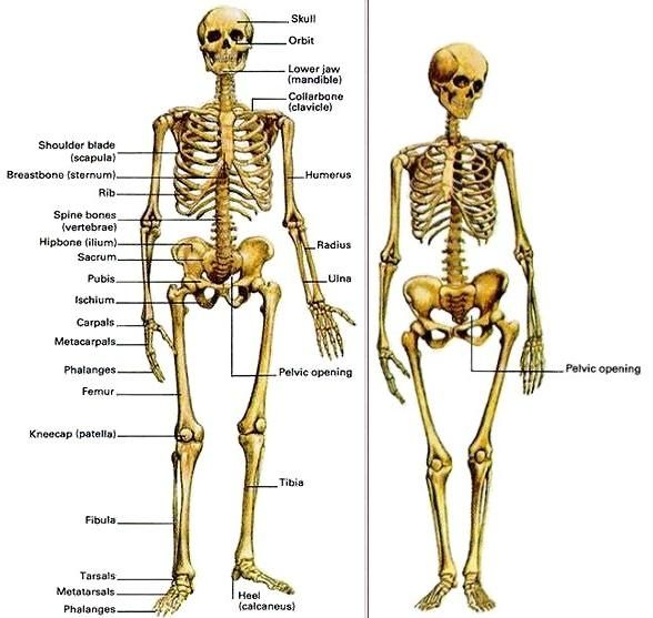 Human Skeleton Male And Female Human Bones Male Vs Female