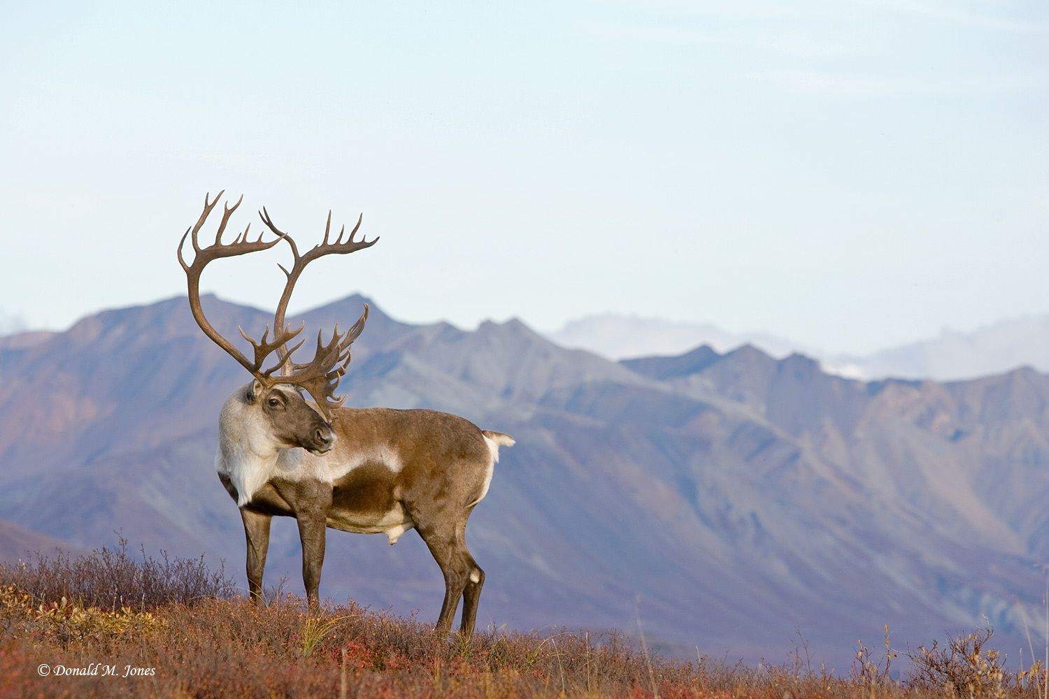 1637_1barren_ground_caribou01892d.jpg (JPEG Image, 1500