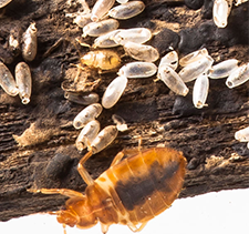Most insects hatch from eggs, and bed bugs are no