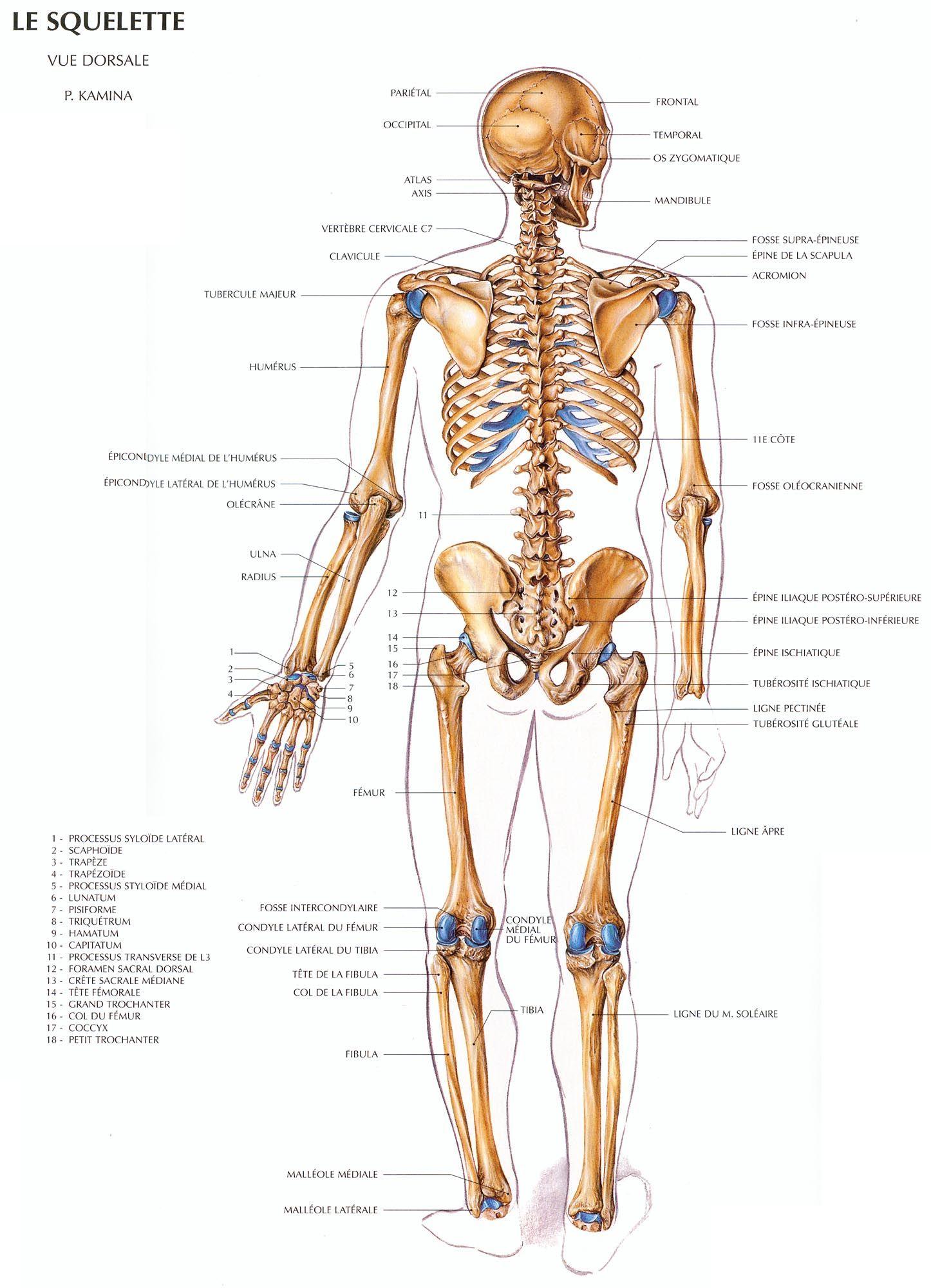 Planche anatomique du corps humain squelette | Anatomie | Pinterest ...