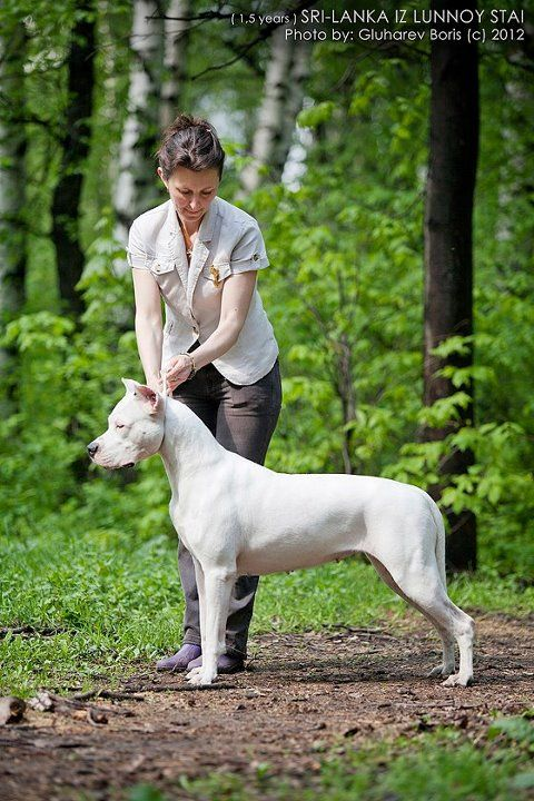 Sri Lanka Iz Lunnoy Stai Mastiff Breeds Pets Dogs