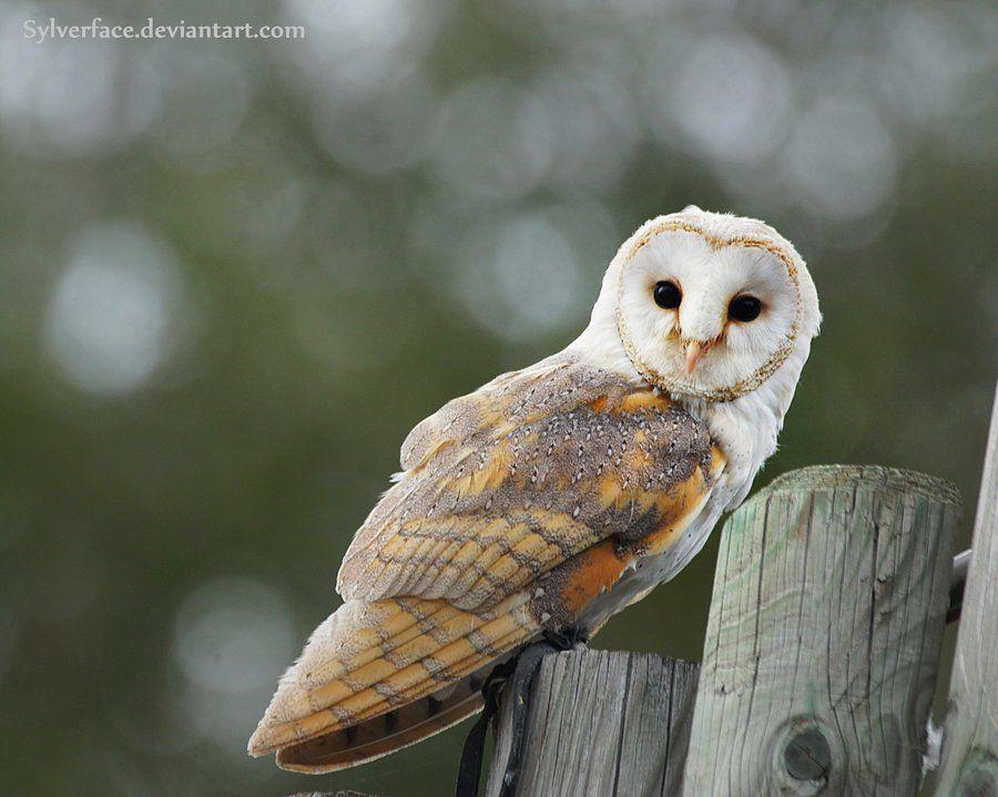Barn owl by sylverface.deviantart.com on @deviantART
