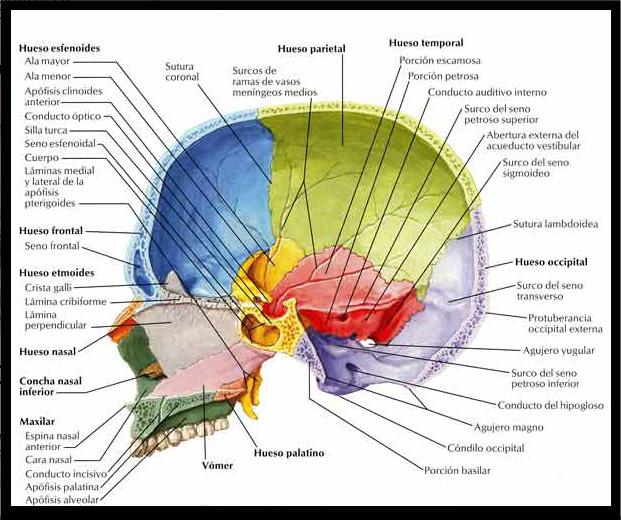 vista lateral de cráneo #infografia | Infographics | Pinterest ...