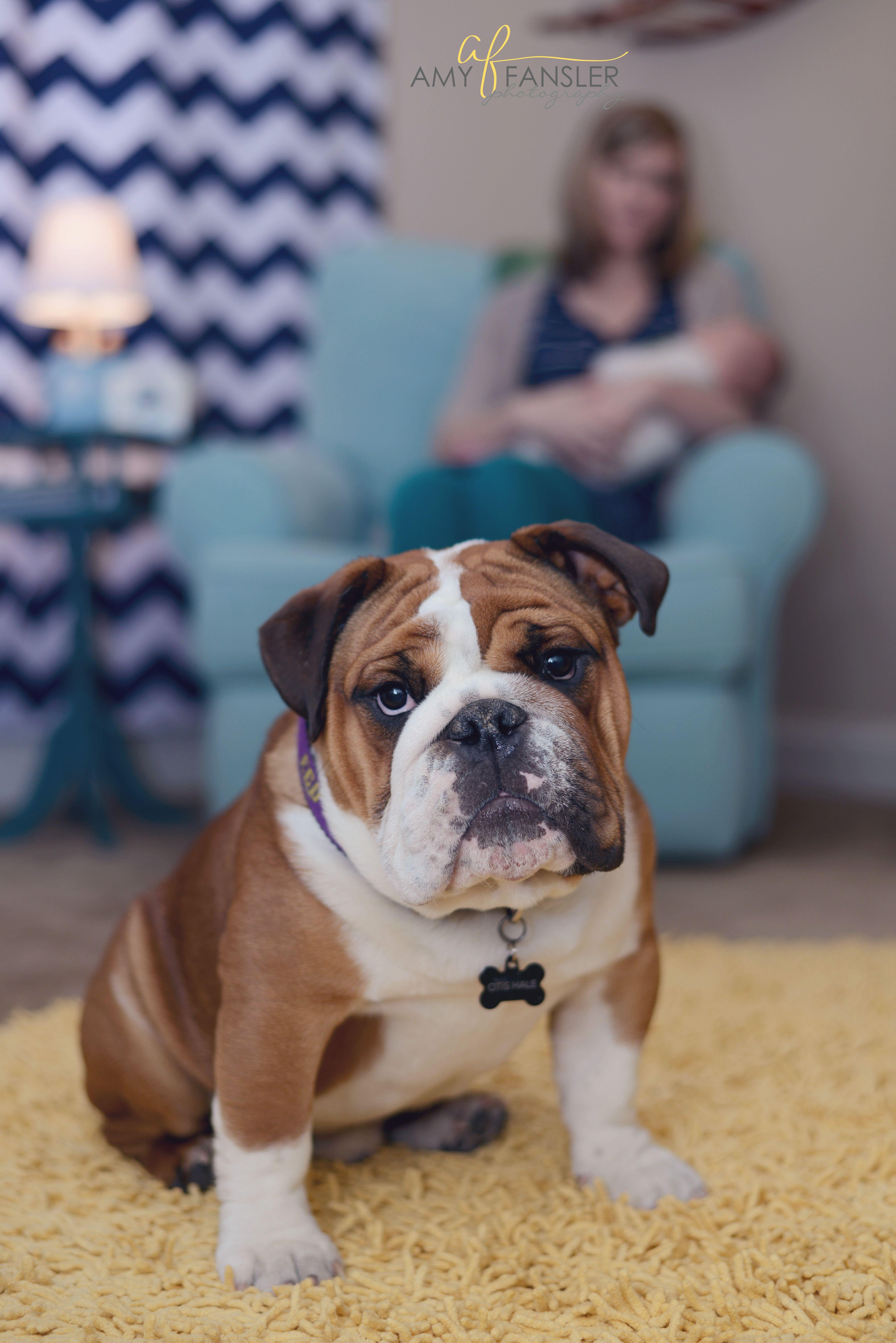 Newborn Baby Bulldogs : newborn, bulldogs, Bulldog, Nursery, Newborn, Photography, Holding, Www.amyfanslerphotography.com, Ral…, Bulldog,, Photography,
