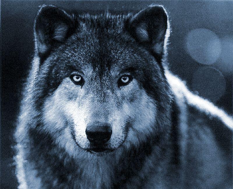 https://flic.kr/p/8Hjwjn | female-wolf
