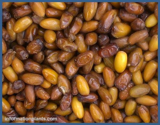 تمرالهيسة قسم التمور مع الصور قسم التمور انواع الاسماك مع الصور الموقع الزراعي ومنوعات اخرى Vegetables Food Beans
