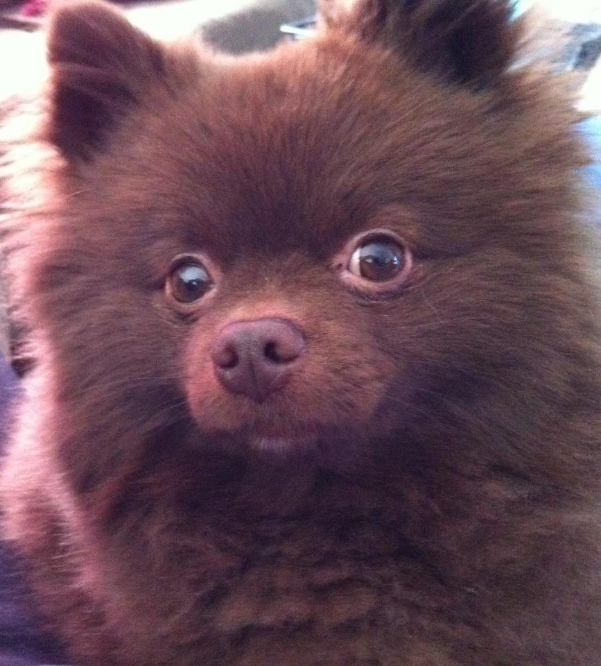My Chocolate Pomeranian!   Pets/Cute Animals   Pinterest ...