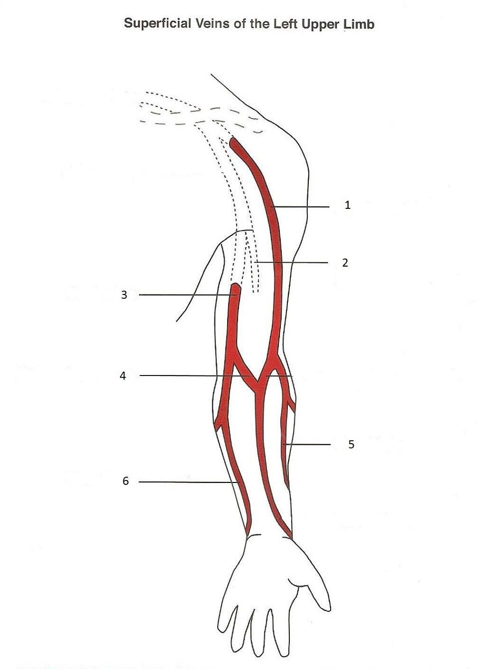 phlebotomy arm diagram printable diagram [ 1000 x 1345 Pixel ]