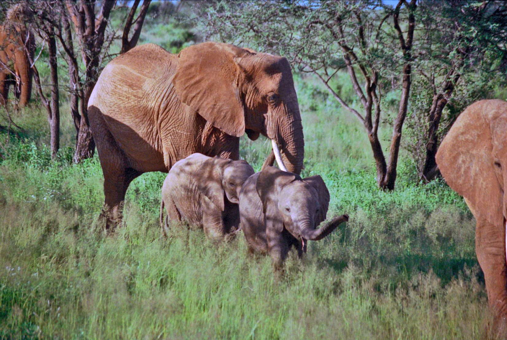 A continuing photographic series on the daily lives of elephants. Samburu elephants gain their distinctive color from the reddish mud of the Ewaso Nyiro River and the region's soilthey dustover ...