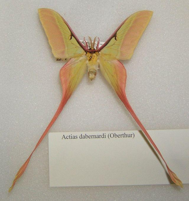 Actias Dubernardi Wikiwand Moon Moth Luna Moth Moth