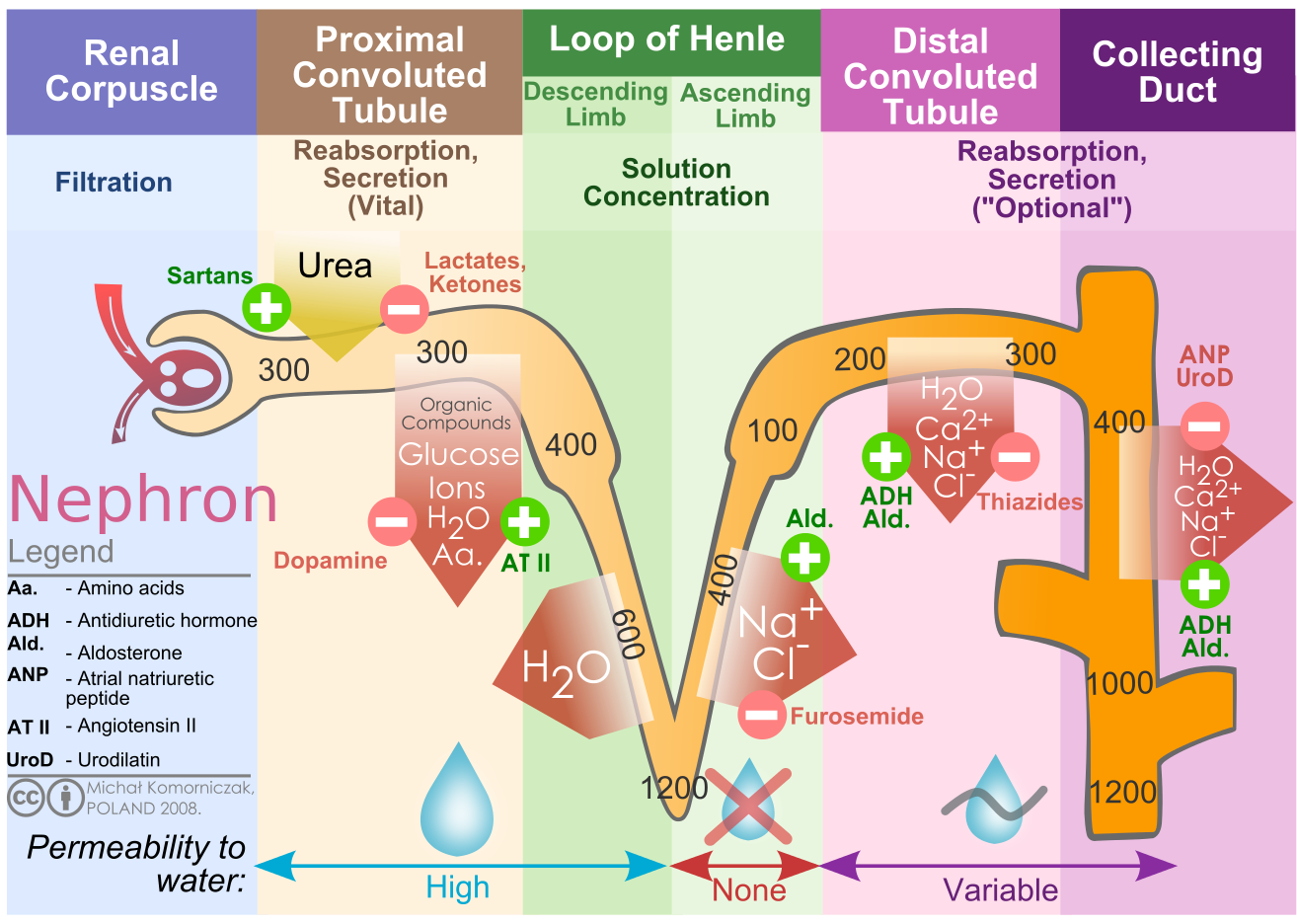 File Kidney Nephron Molar Transport Diagram Svg Physiology Loop Of Henle Renal Physiology