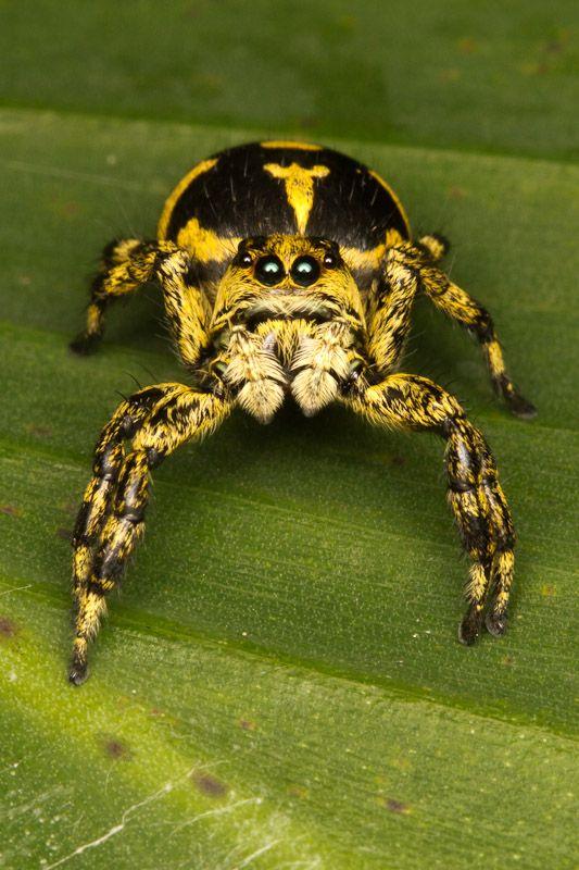 Cute Phiale Guttata Species Jumping Spider Anatomy Study