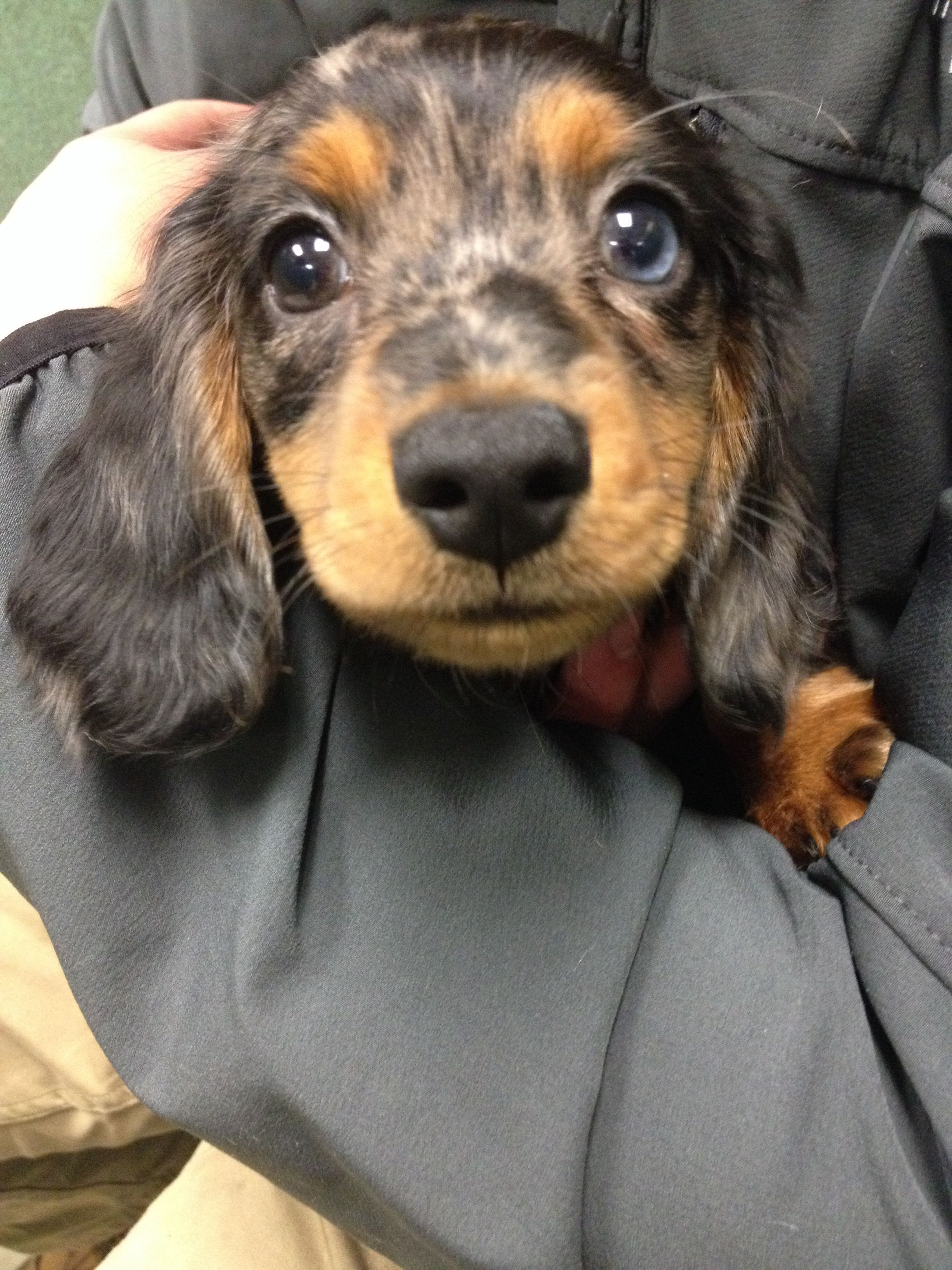Dachshund Puppy I Love This Color Combo Daschund Puppies Dachshund Lovers Dachshund Puppies