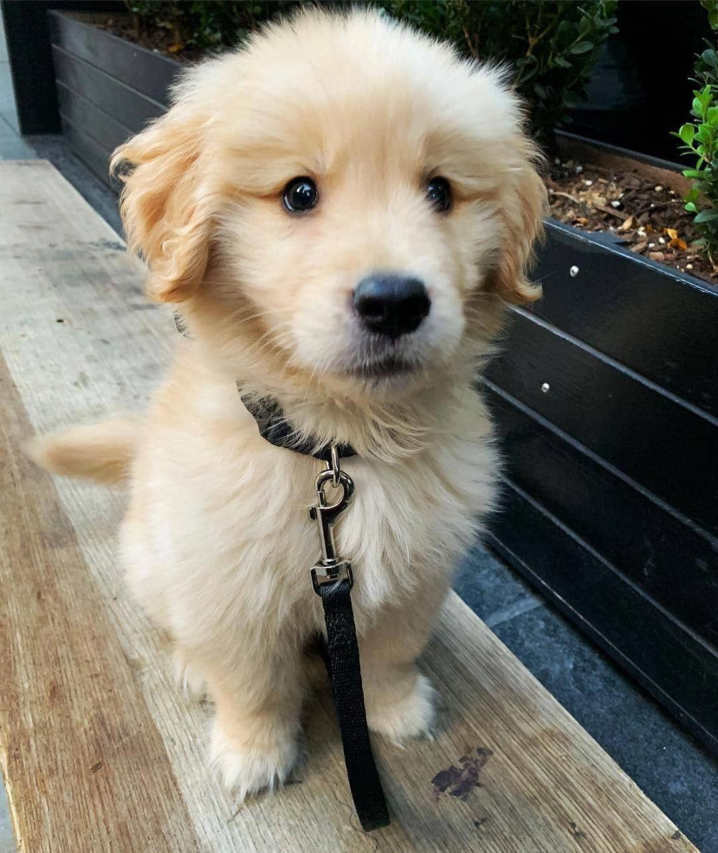 Golden Retriever Puppies For Sale Near Me Price