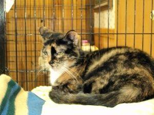 Adopt Vegas On Petfinder Tortoise Shell Cat Cats Humane Society