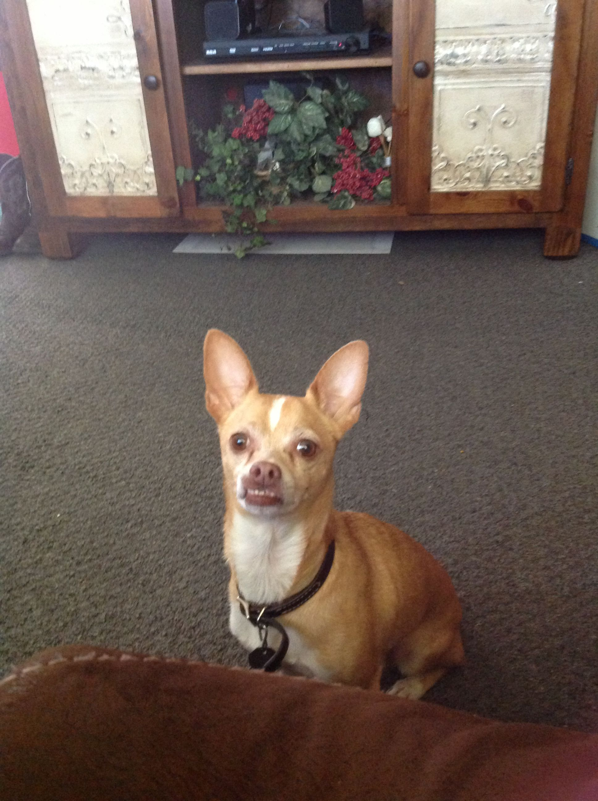 My cute little dog his name is louie dogs pinterest dog