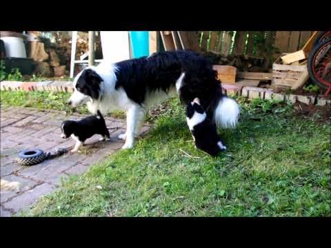 Cutest Border Collie Puppies In The World Border Collie Puppies Collie Dog Pictures Collie Puppies
