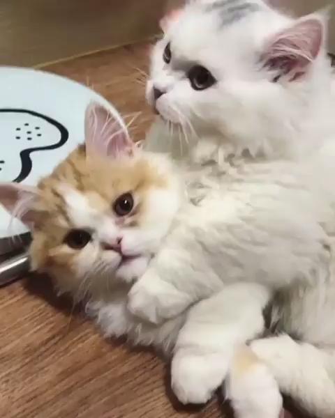 Cat Love Video