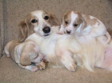 mini long-haired Doxies