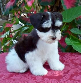 Toy Schnauzer puppy what an adorable baby