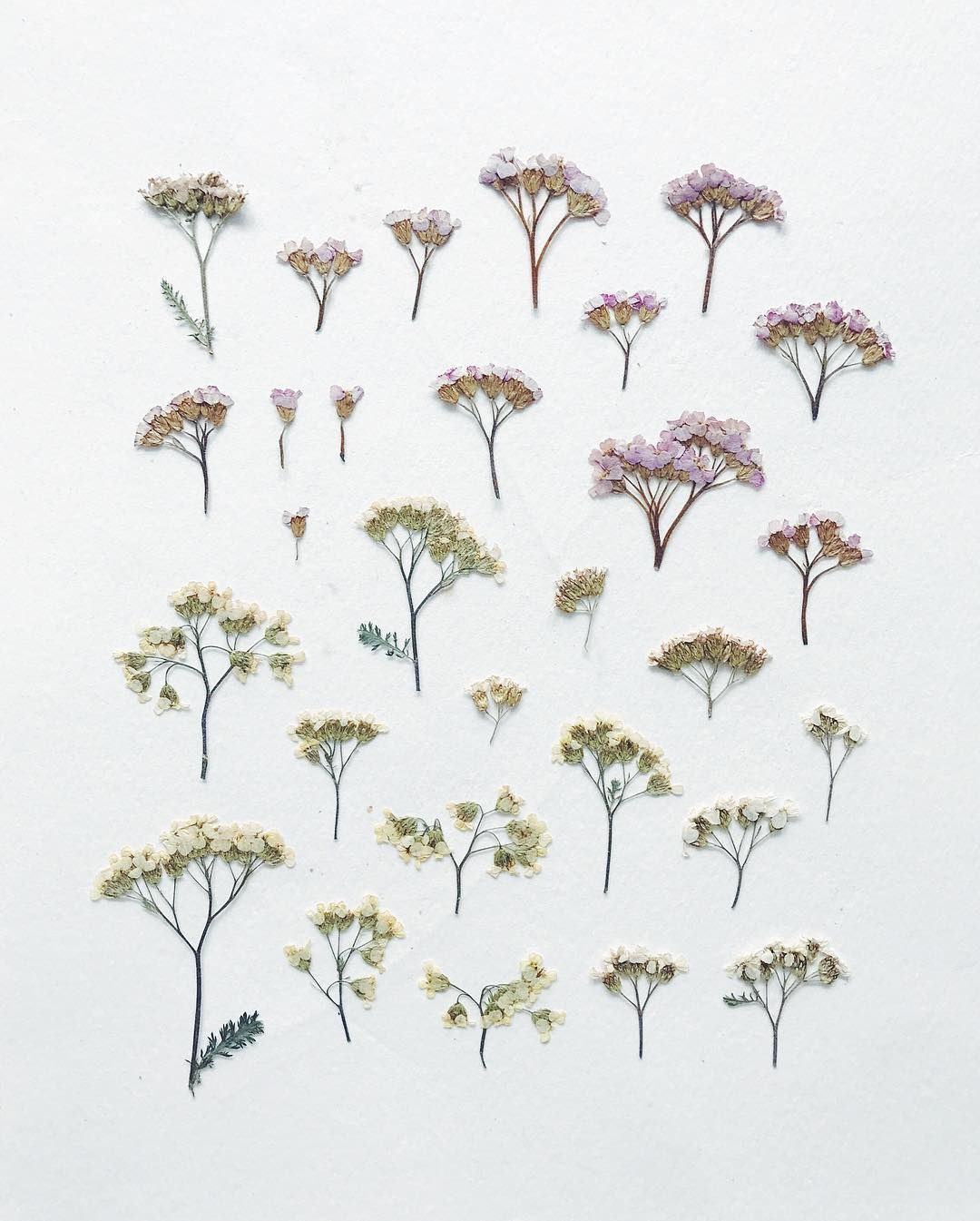 Some Pressed Achillea Thinking Of You Achilleaflowers Pressed Flowers Diy Vintage Art Prints Pressed Flowers
