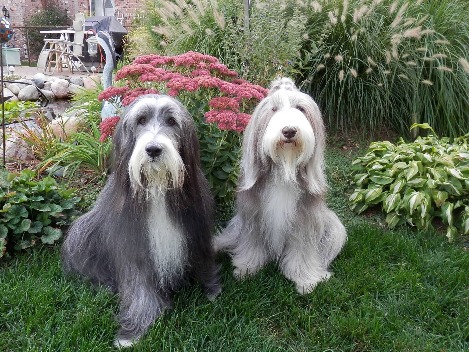 Buffet And Murphy Bearded Collie Puppies Bearded Collie Collie