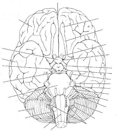 Print Exercise 19: Gross Anatomy of the Brain and Cranial