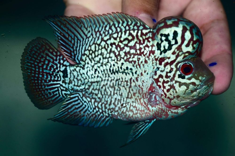 Short Body Super Red Kamalau Flowerhorn Monster Kok Cichlids Fish Pet Fish