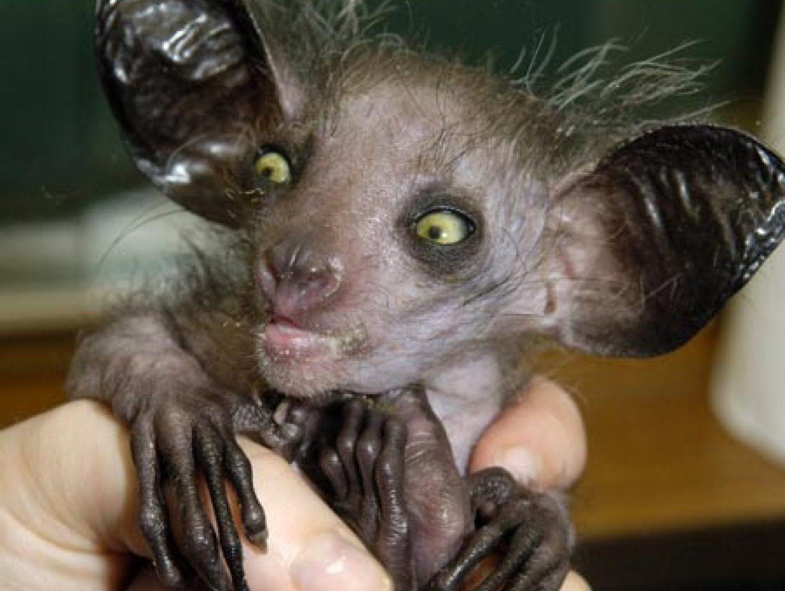 World's Creepiest Animal - The Aye Aye | Scary animals, Weird looking  animals, Creepy animals