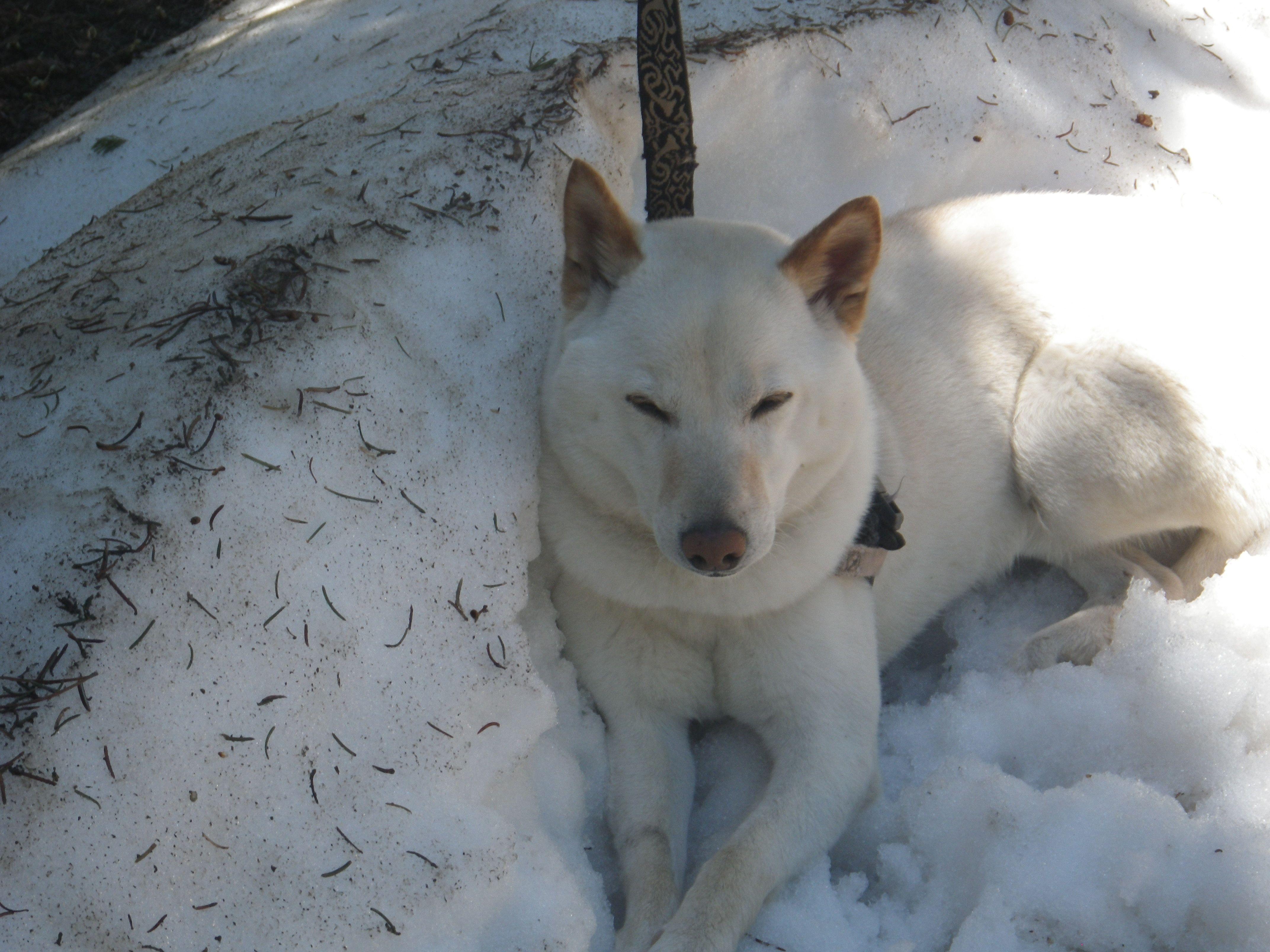 Snow dog-june 2013