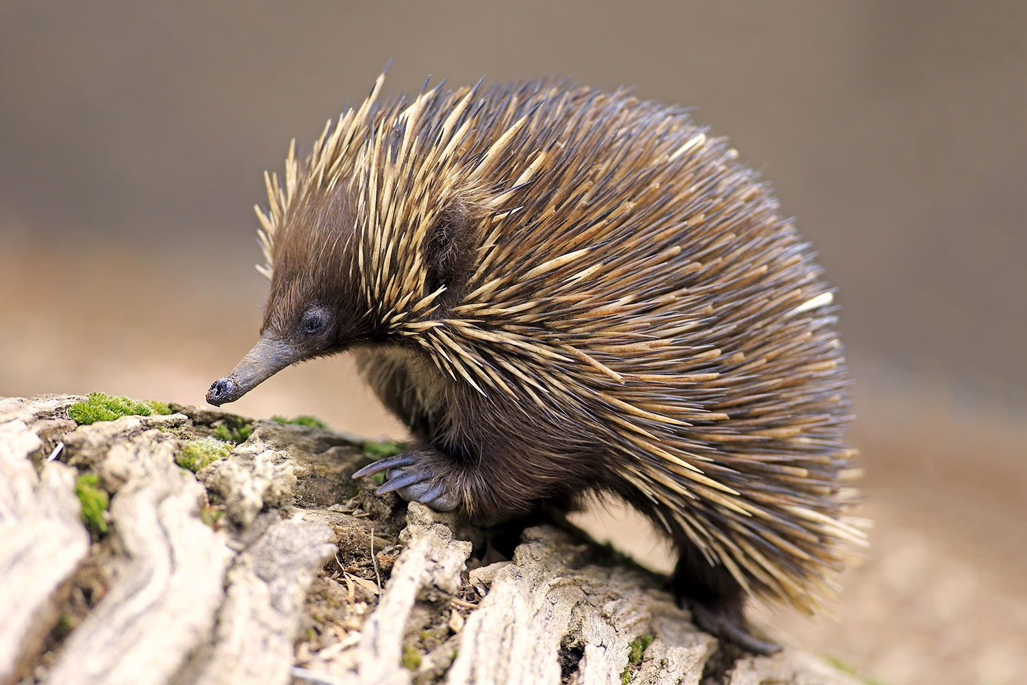 short beaked Echidna lives range includes the entire