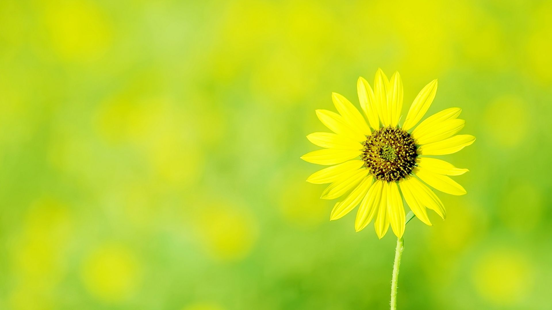 Yellow Sunflower High Definition Wallpapers Hd Wallpapers 1080p