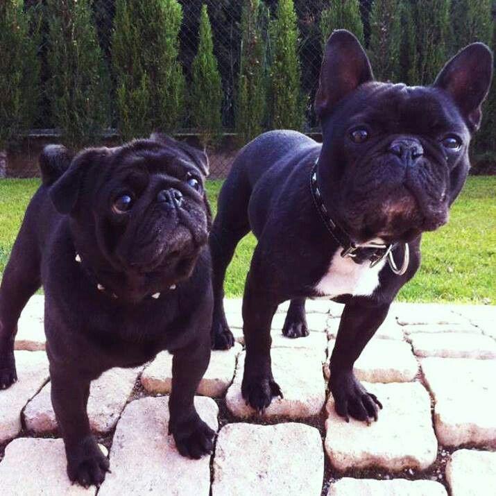 French Bulldog Playful And Smart Brindle French Bulldog Crazy