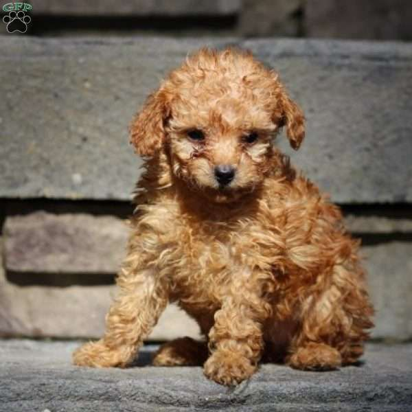 Gretta Miniature Poodle Puppy For Sale In Virginia Dogs