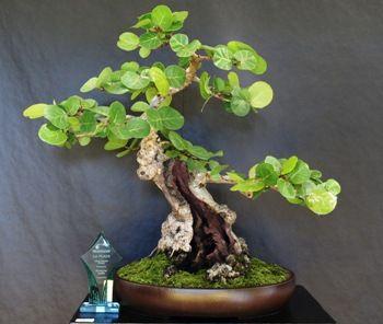 Seagrape Bonsai 08web Jpg 350 296 Pixeles Bonsai Bonsai Garden Bonsai Tree