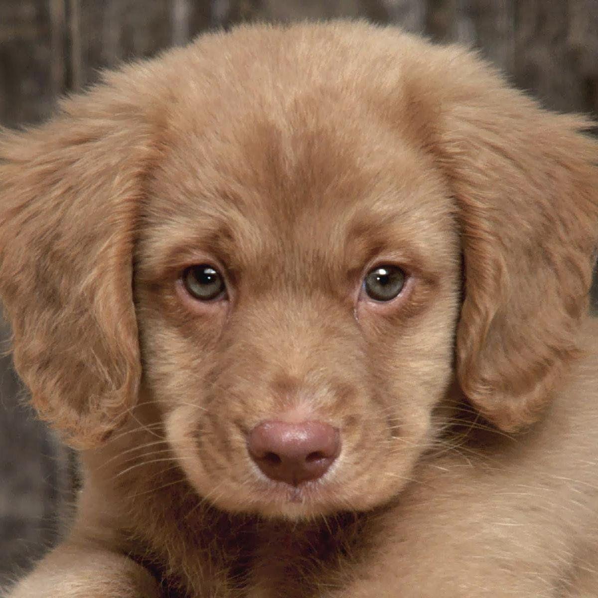 Chocolate Labrador Retriever Puppy With Blue Eyes Baby Puppies Golden Cocker Retriever Cute Puppy Pictures